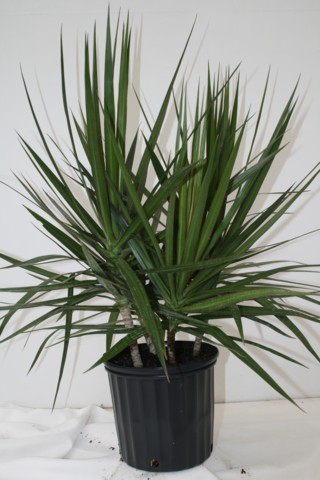 Alpha Botanical Dracaena Marginata Plant Care Profile