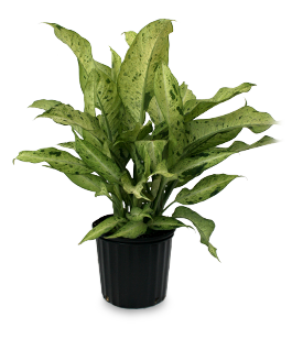botany of dieffenbachia seguine No one has contributed a brief summary to this page yet explore what eol knows about dieffenbachia add a brief summary to this page.