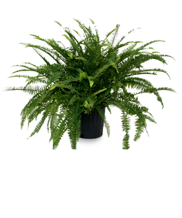 Emerald Queen Fern